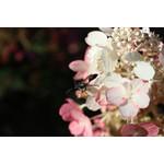Hydrangea Standard 'pinky winky' 7 gal