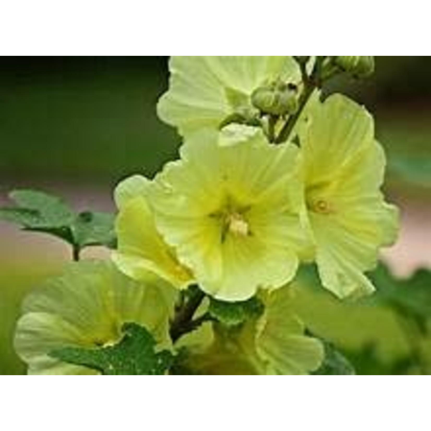 "4"" Perennial\ Hollyhock 'Stoplight Sunshine' - 4"""