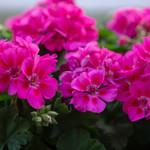 """4"""" Geraniums - SALE"""