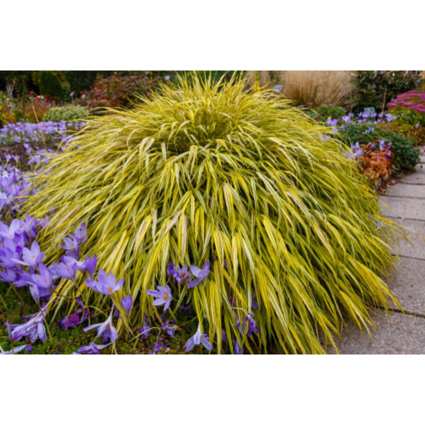 Japanese Forest Grass - hakonechloa 'aureola'