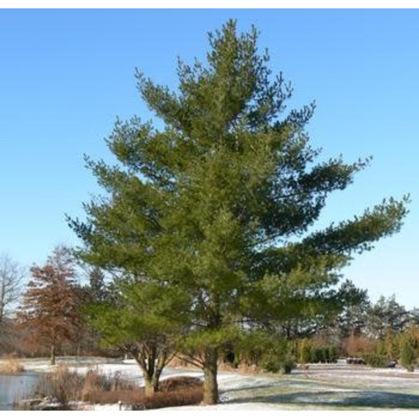White Pine 3-4' Fibre Potted