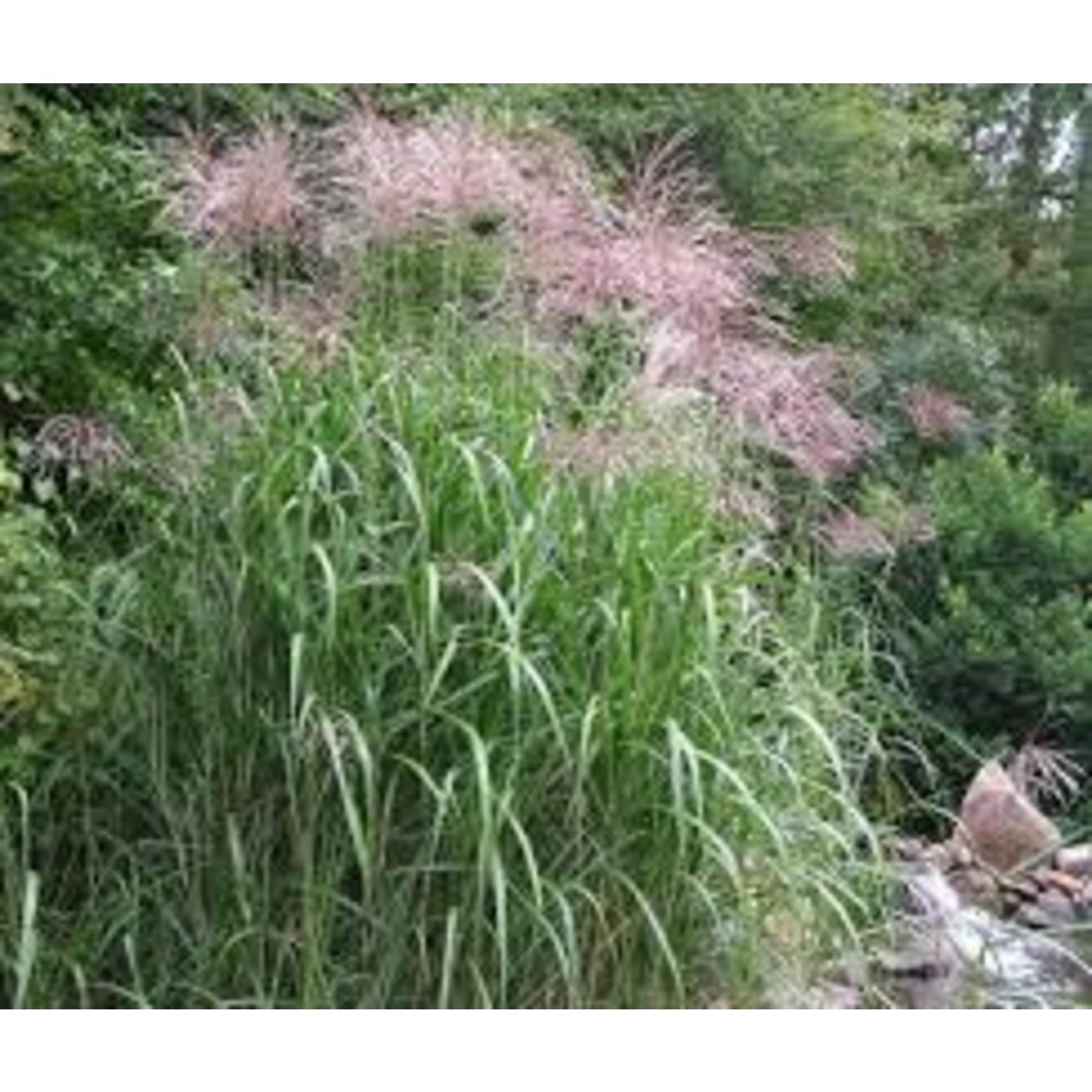 Giant Maiden Grass (silver grass) - Miscanthus Giganteus 1 GAL