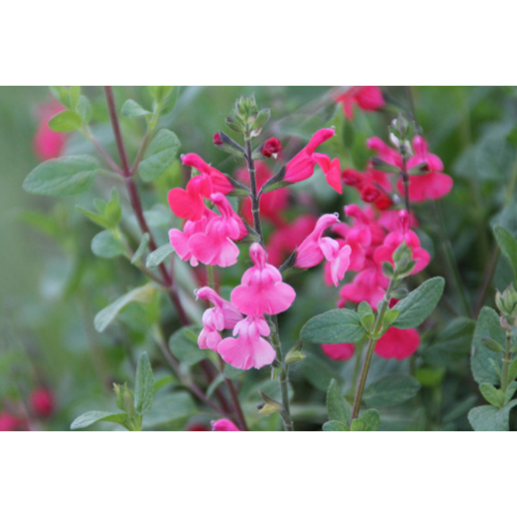 Salvia Pink Profusion - Perennial Sage - 1 GAL