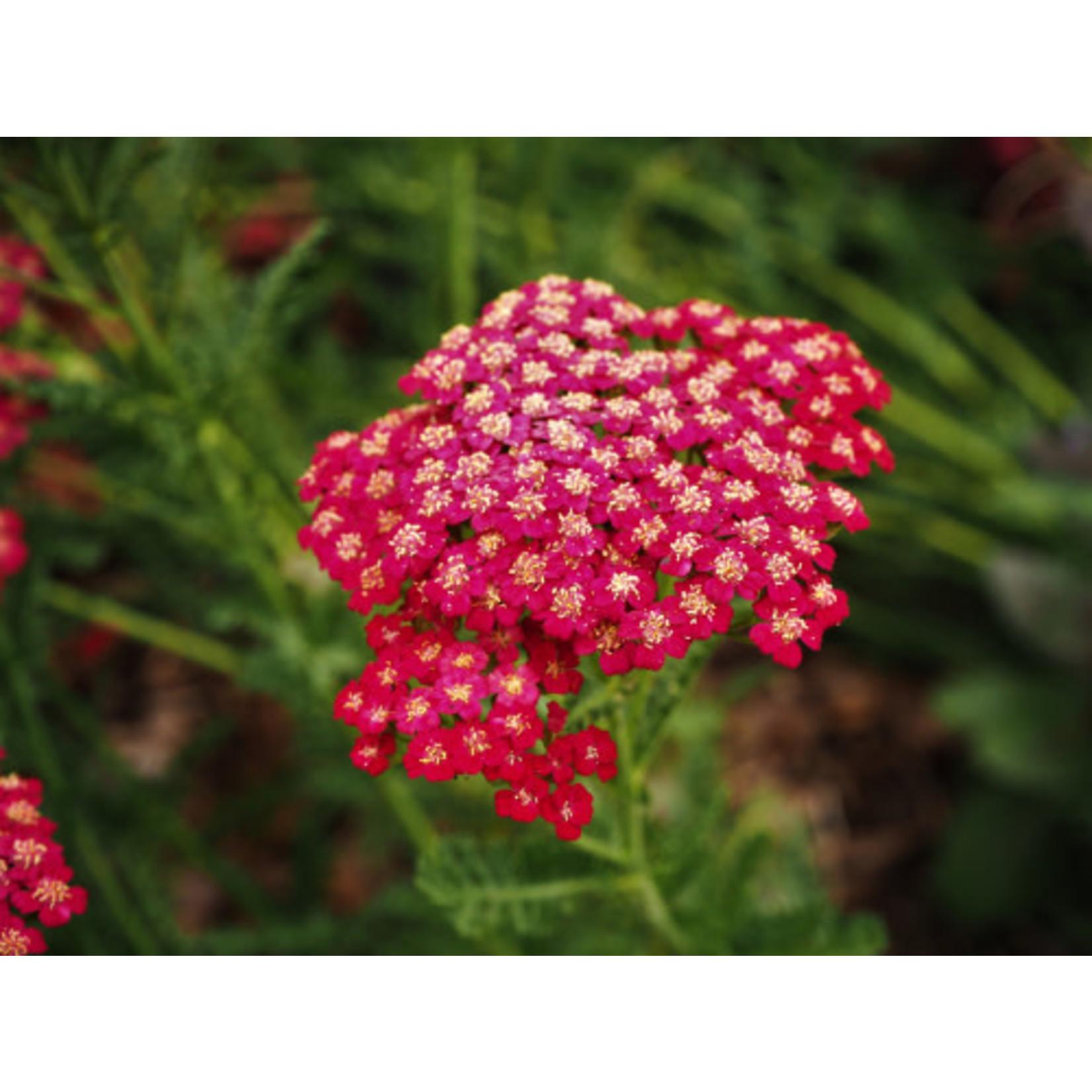 Yarrow Pomegranate Achillea Mill  1 GAL