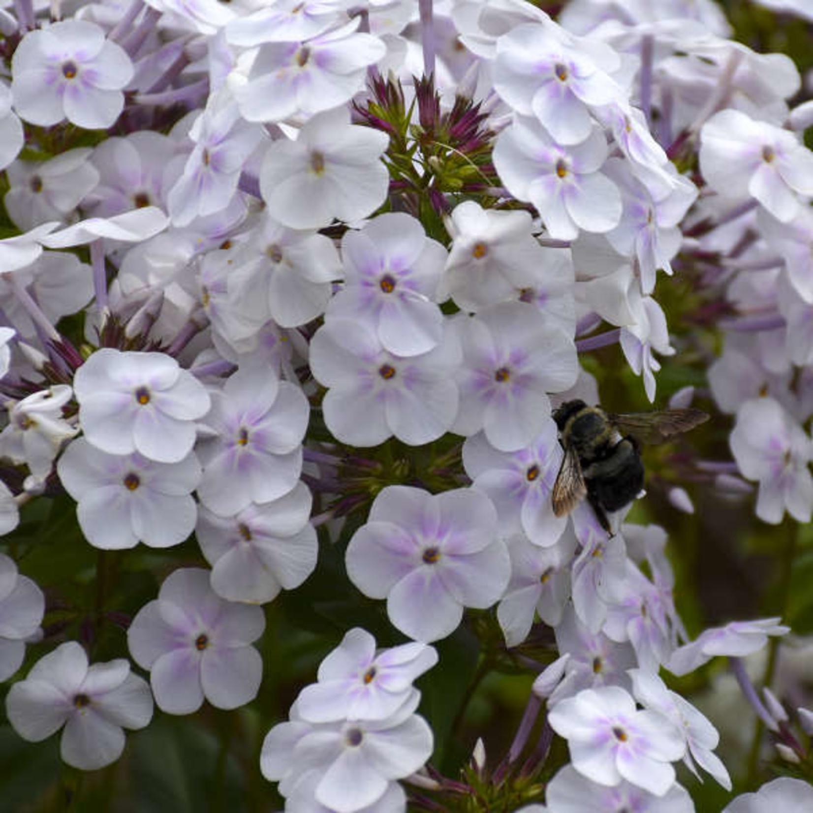 Garden Phlox 'fashionably early crystal' 2 gal