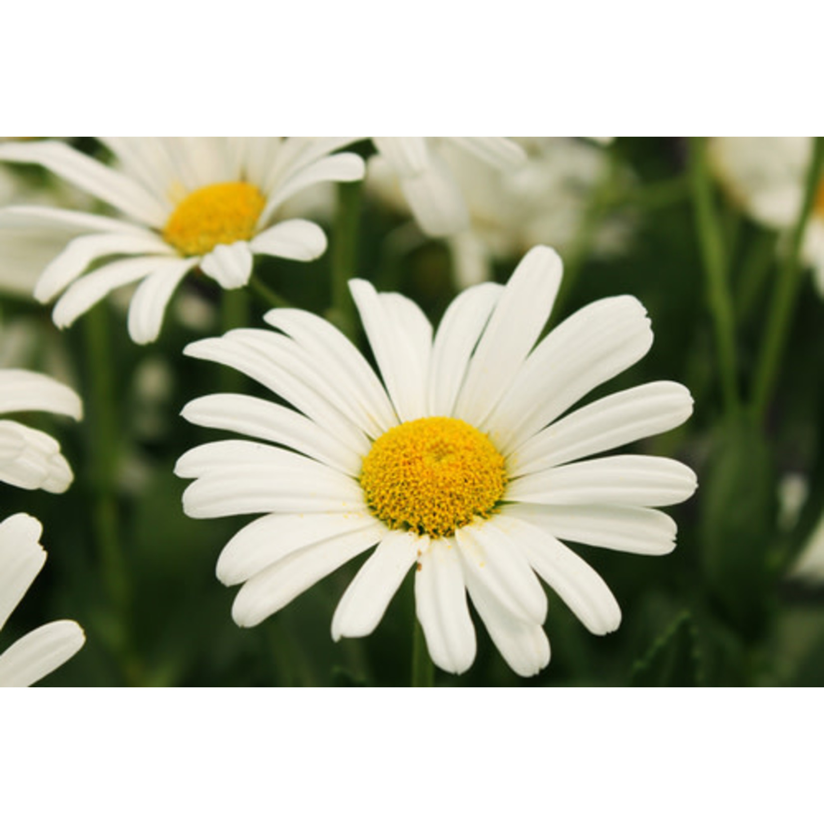 Shasta Daisy 'highland white dream' 1 gal