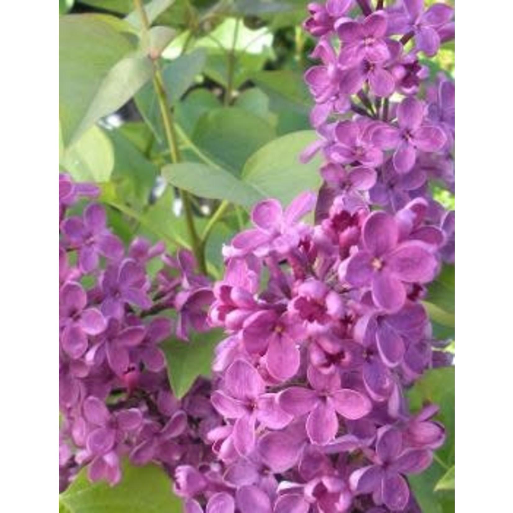 Lilac Ludwig Spaeth - 2 GAL