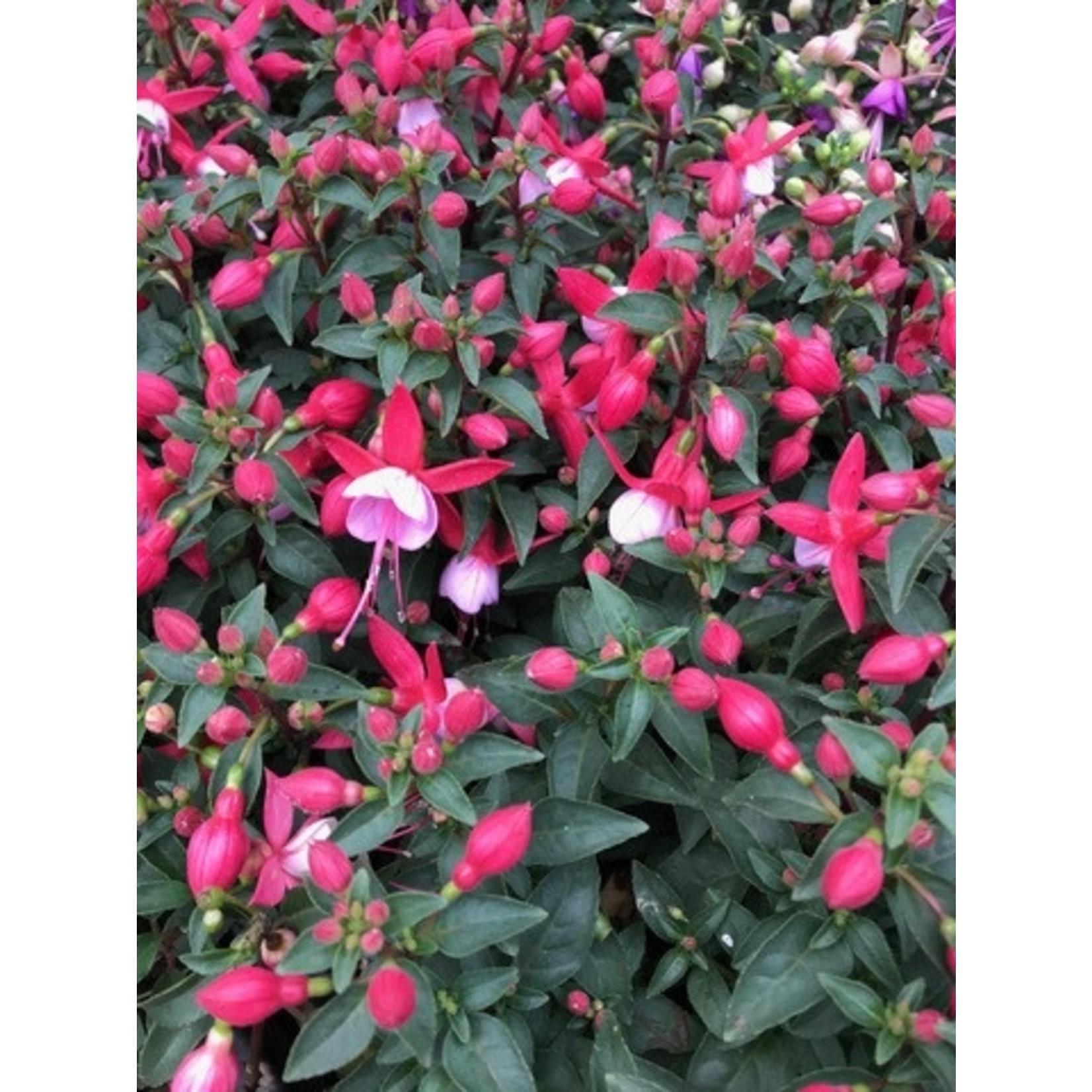 """Fuchsia Plant - 7"""" HB"""
