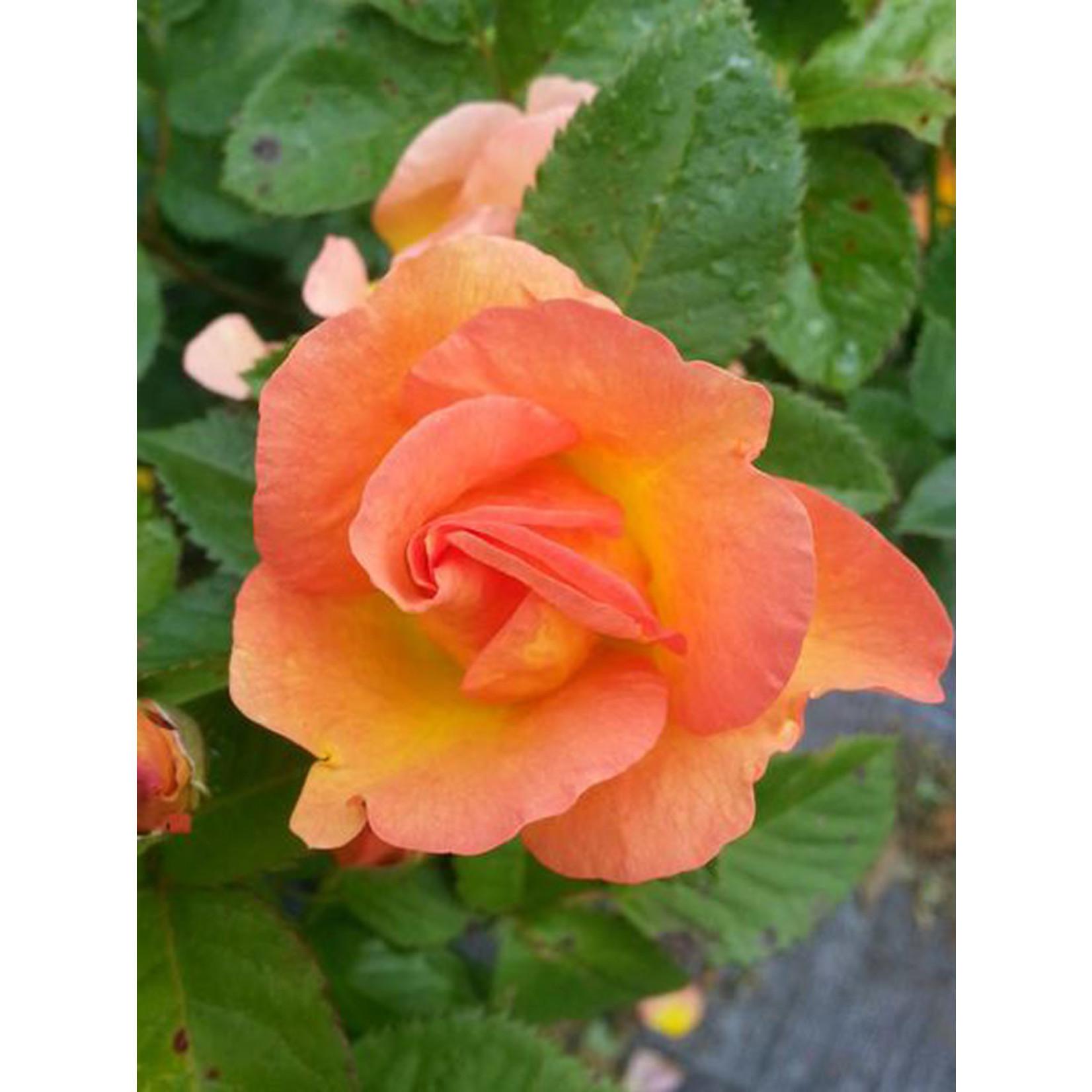 Rose - 2 Gal BAK
