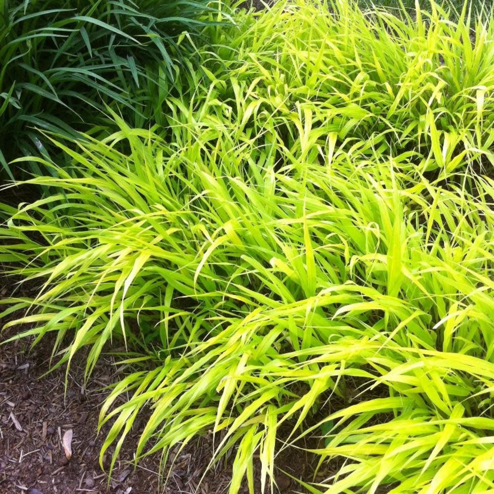 Japanese Forest Grass - hakonechloa 'all gold' - 1 gal