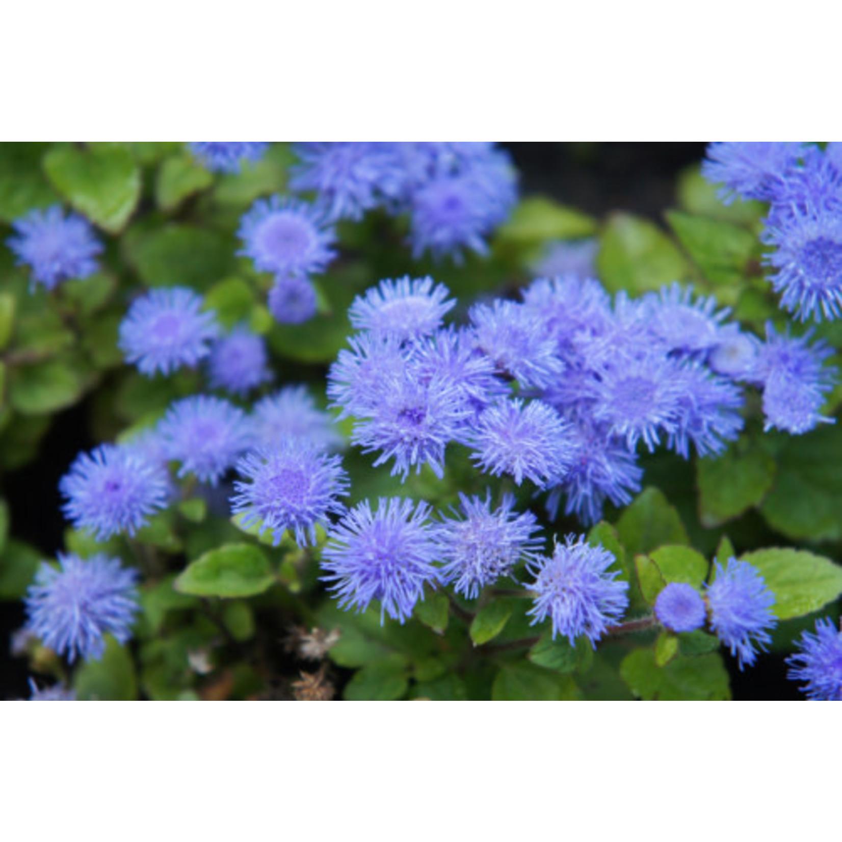 "Ageratum 'Dwarf Blue' - 6"""