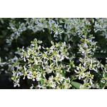 """Euphorbia - 7"""" HB"""