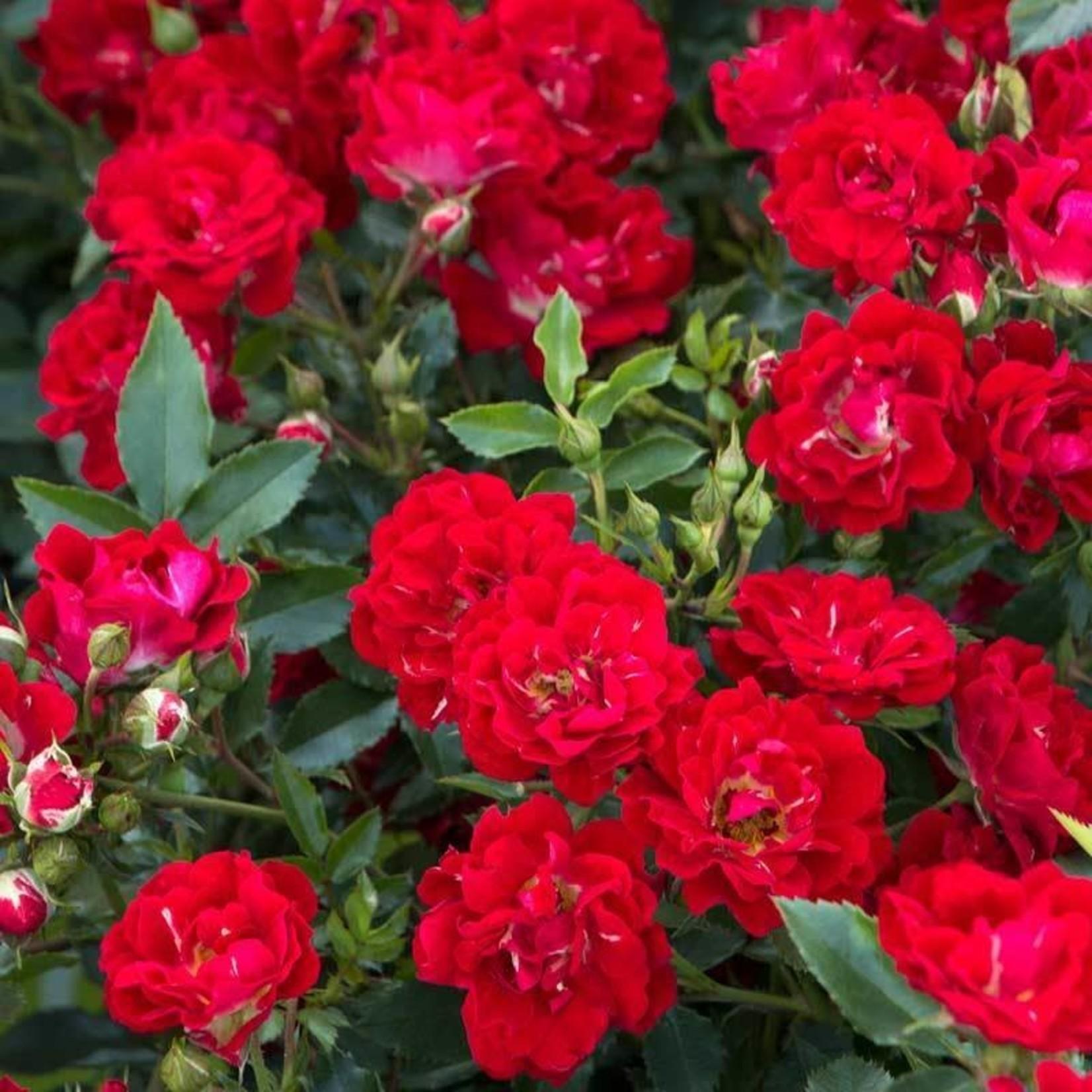 Rose - 1 Gal BAK