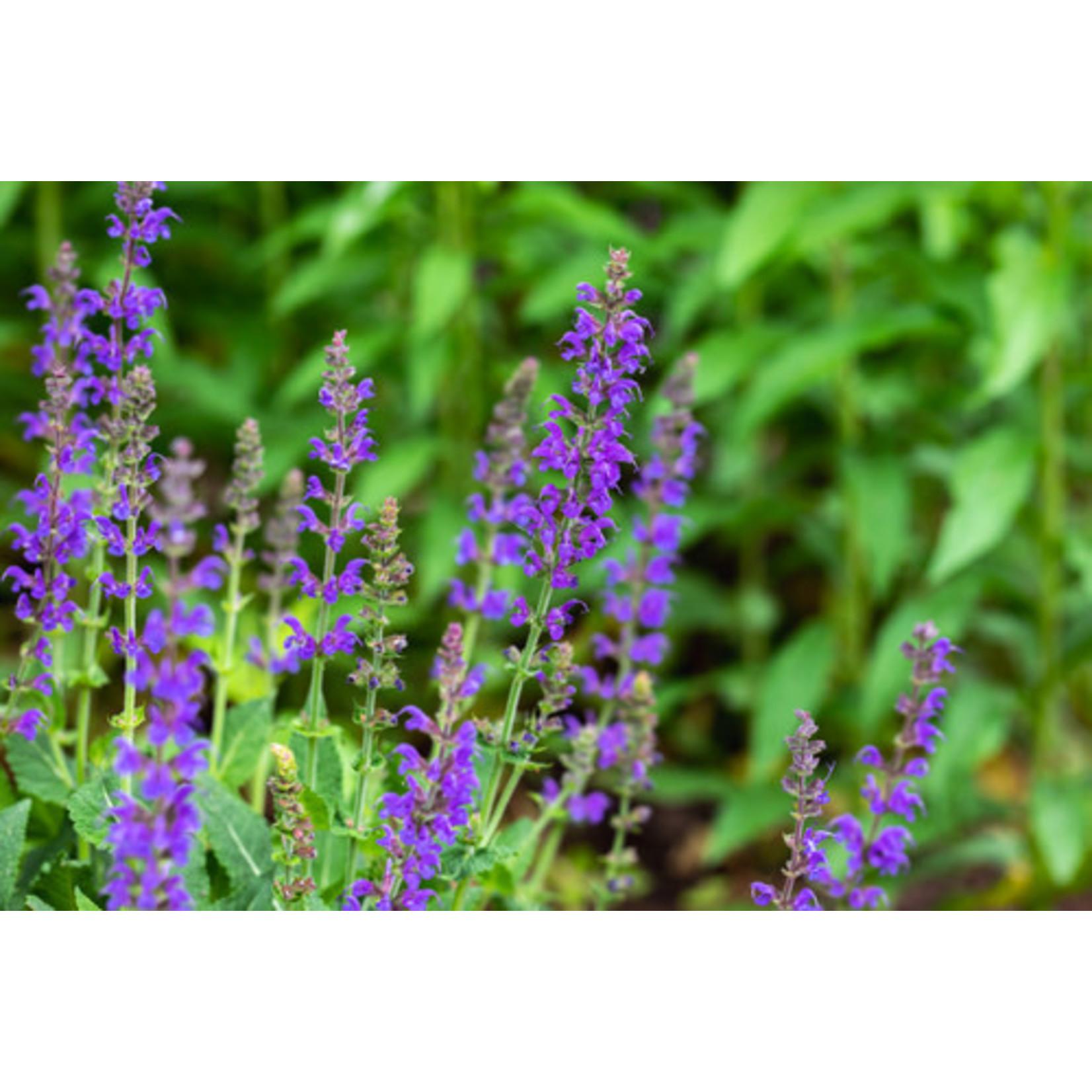 Perennial Sage - Salvia May Night 1 gal