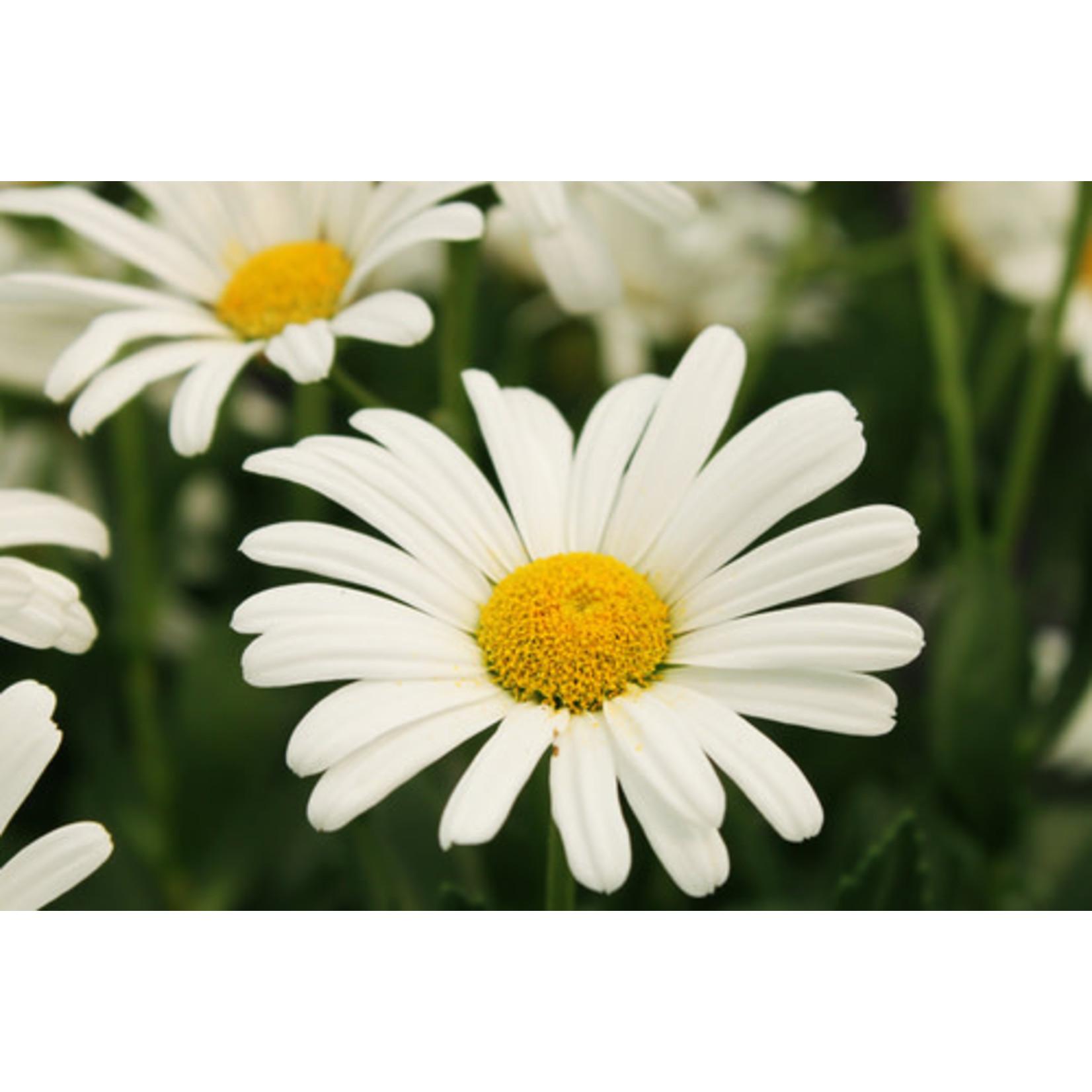 Shasta Daisy 'highland white dream' - 2 gal