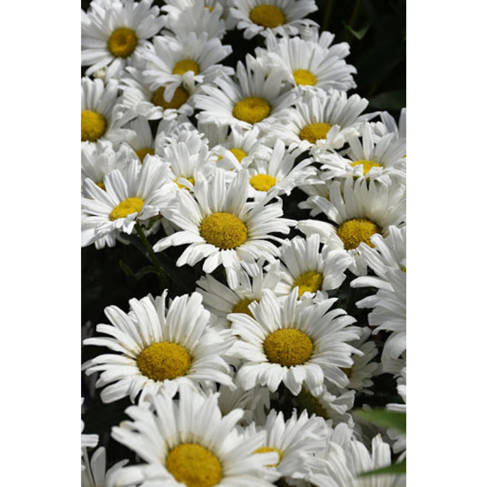 """Shasta Daisy 'daisy may' - 8"""" PW"""