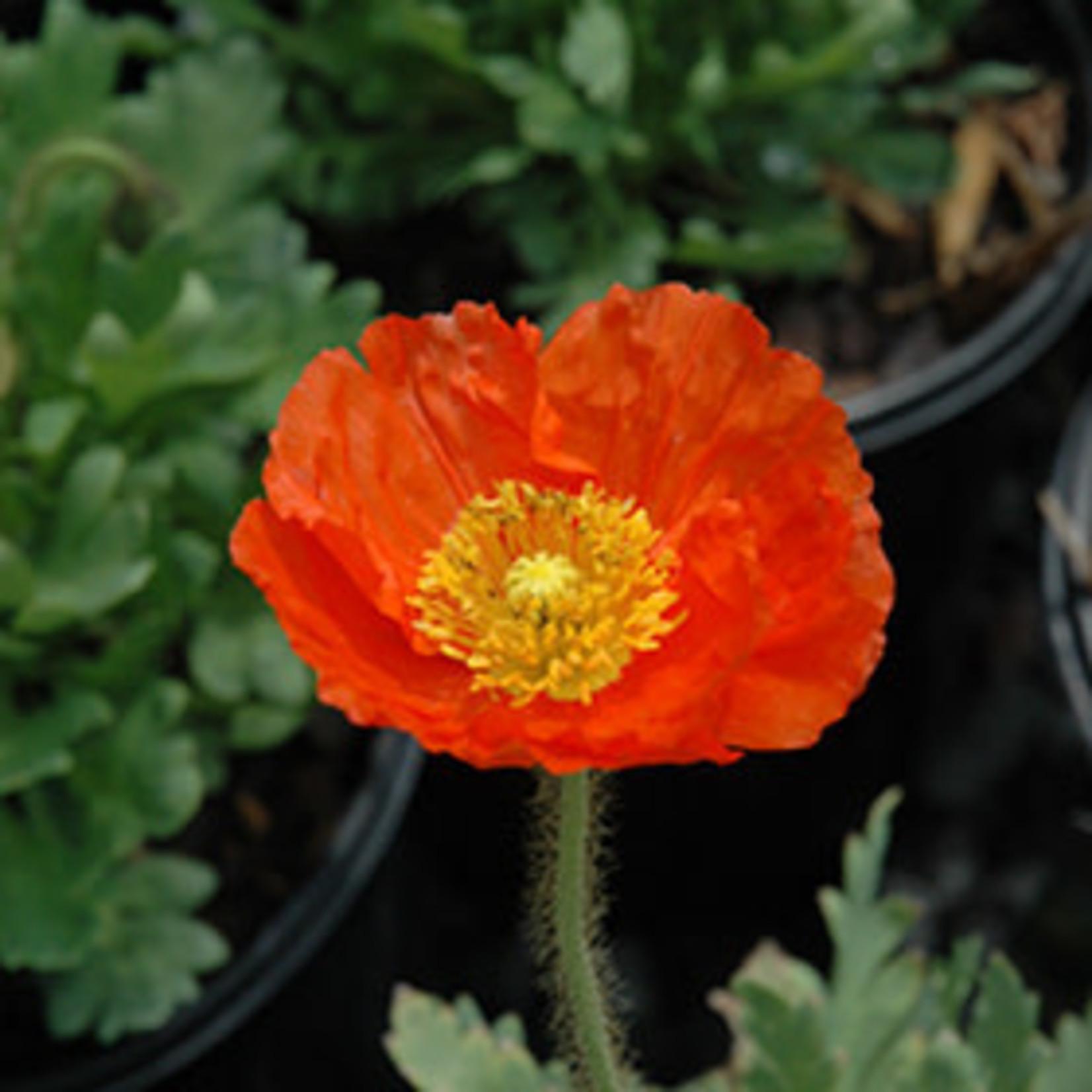 Poppy 'Spring Fever Orange' - 1 qt