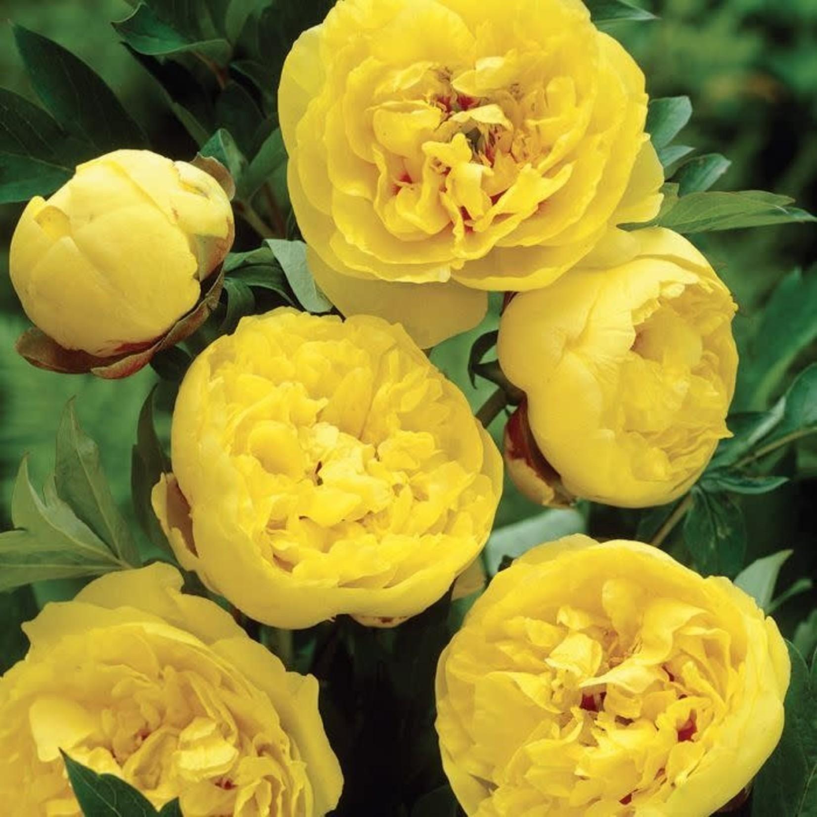 Peony 'Hybrid Yellow Crown' - 2 gal