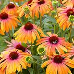 Cone Flower 'Echinacea Rainbow Marcella' - 1 gal
