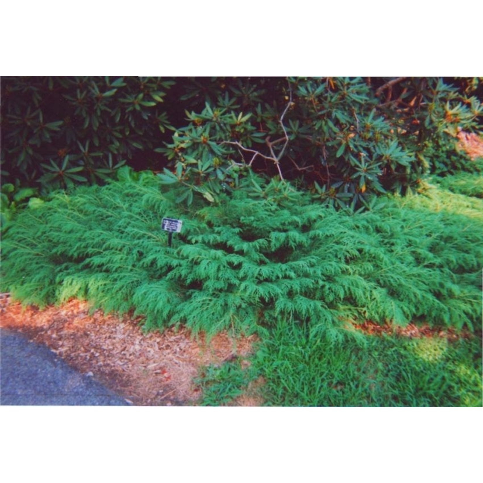 Cypress 'Siberian Carpet' - 3 gal