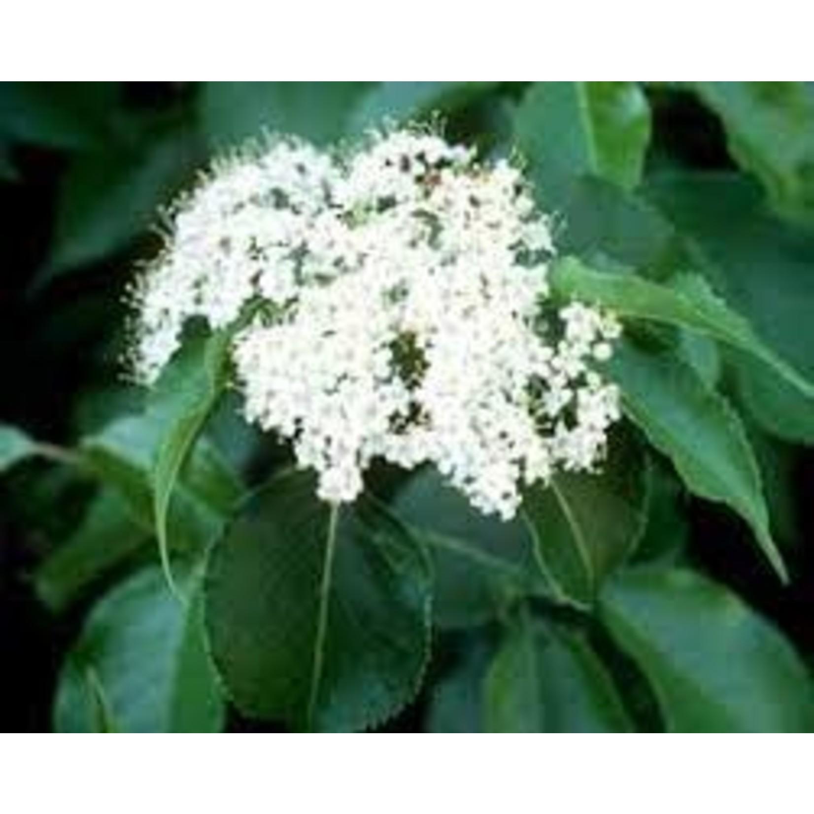 Viburnum 'Nannyberry' - 5 gal