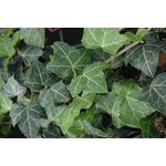 Baltic Ivy - 1 gal staked