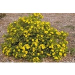 Potentilla 'Yellow Gem' - 3 gal