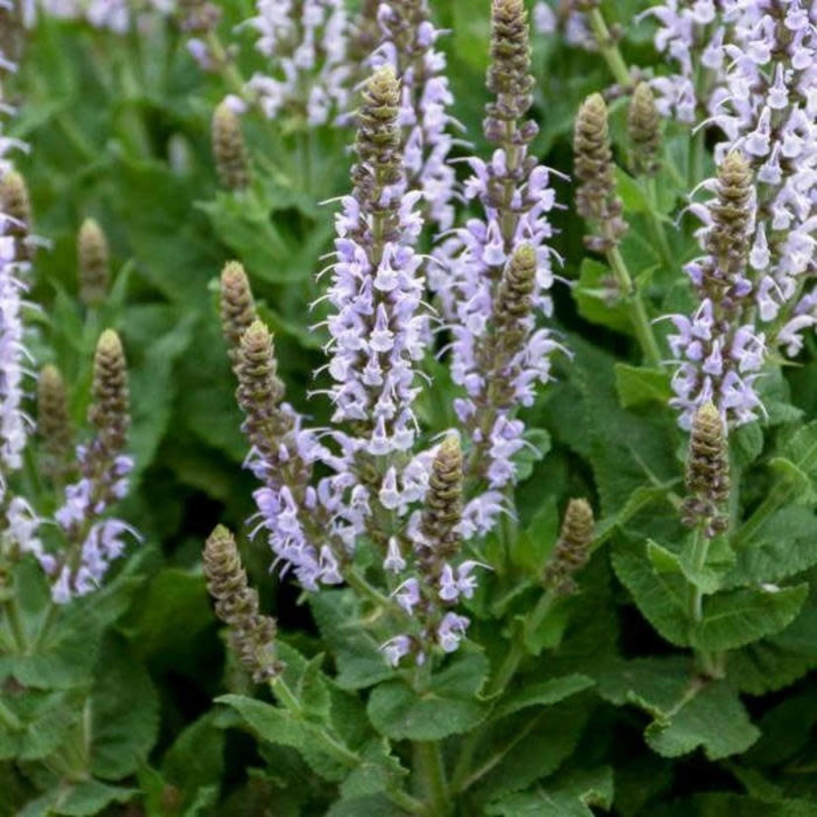 Perennial Sage 'Salvia Bumblesky' - 1 gal