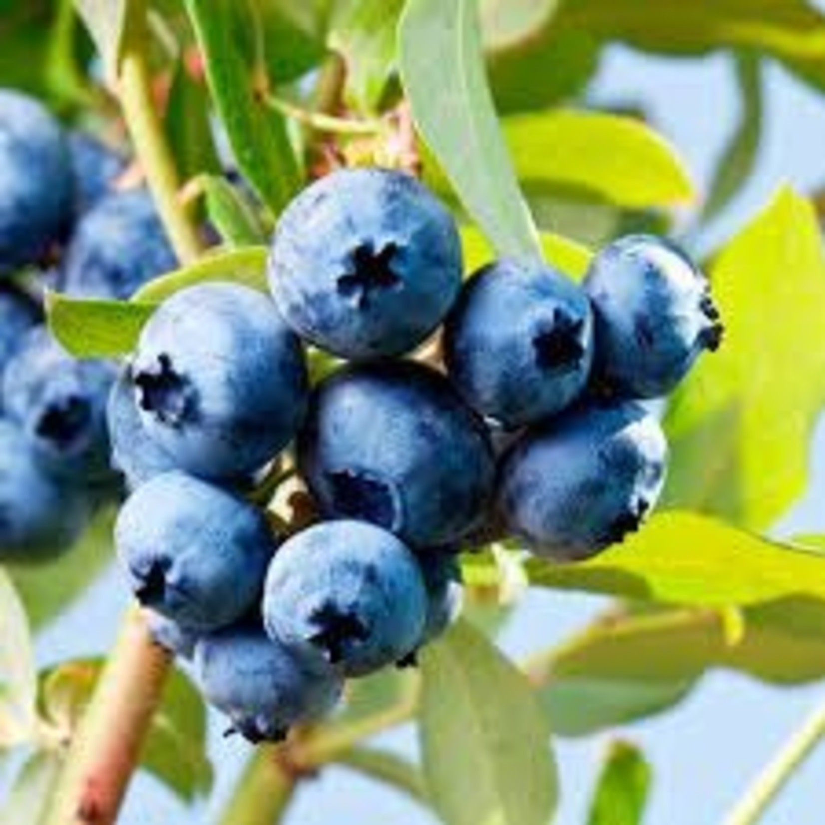 Blueberry - Vaccinium 'North Country'