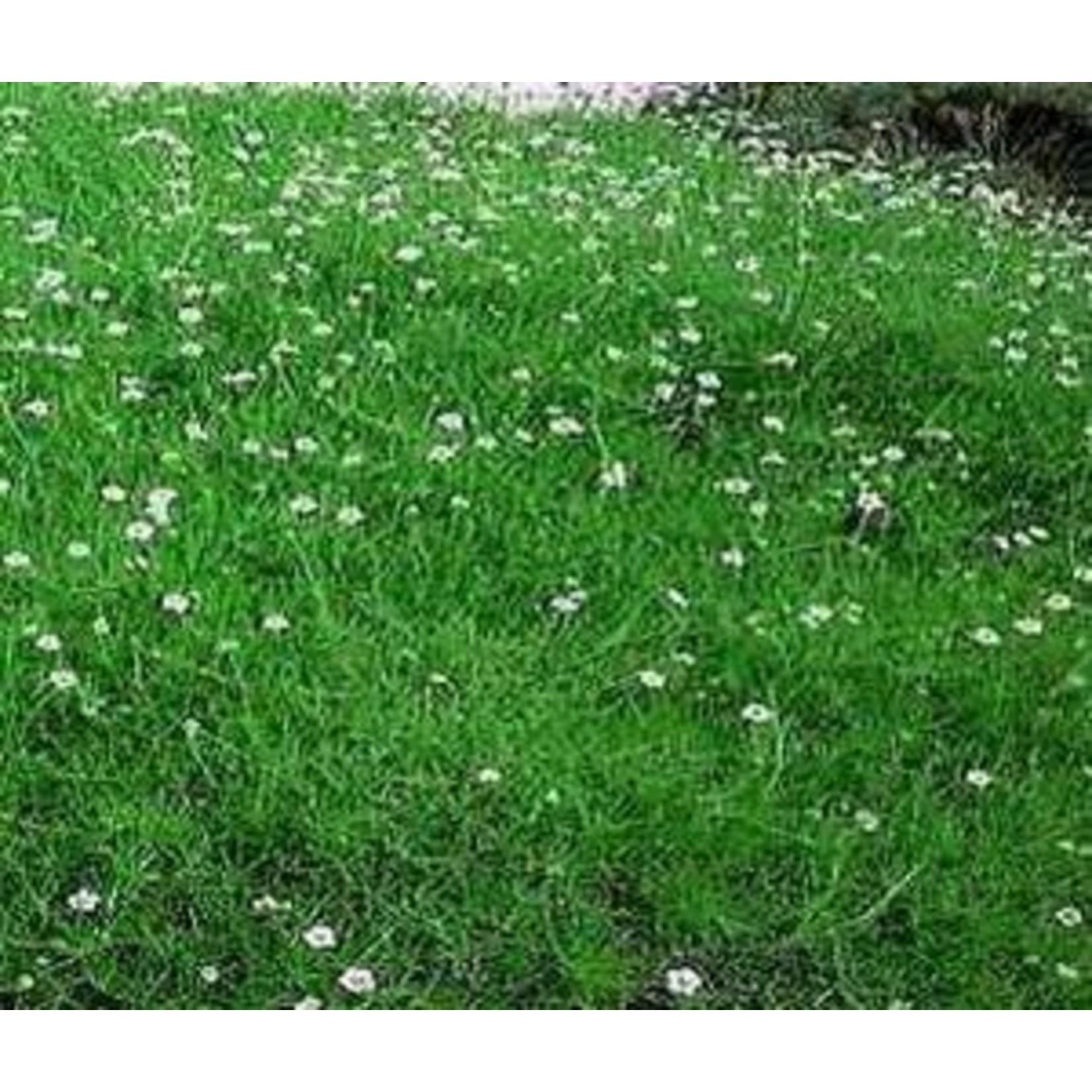 Crispy Irish Moss 'sagina subulata' - 1 qt