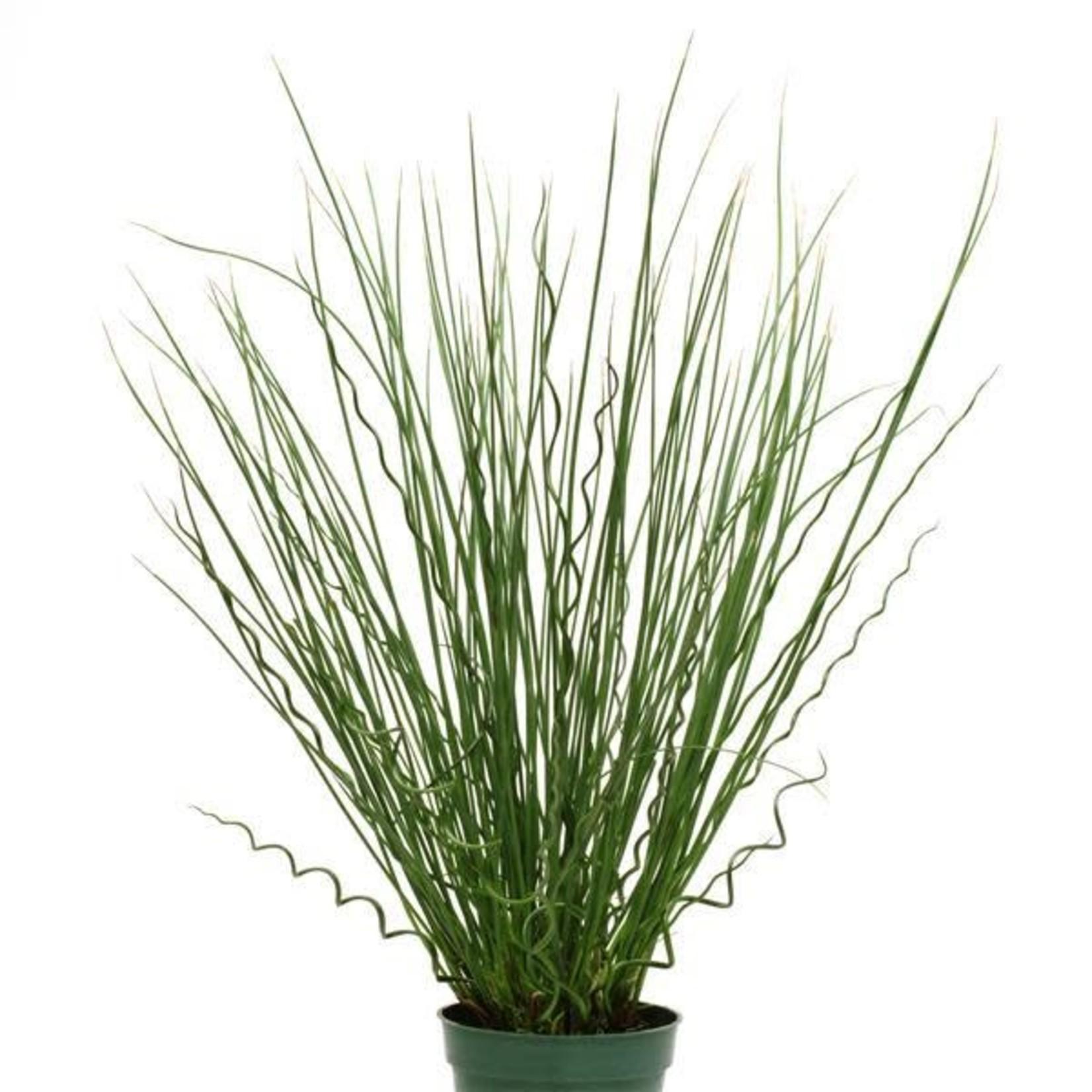 Grass 'Juncus Twisted Arrows' - 1 qt