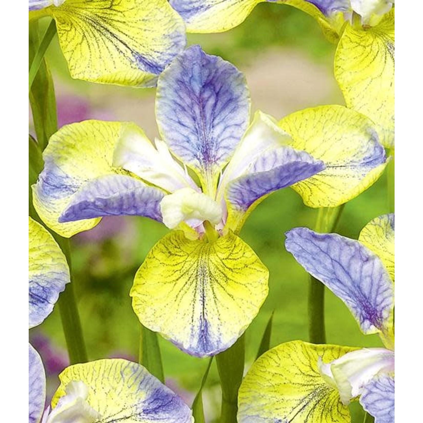 Iris Siberian 'Tipped in Blue' - 1 gal