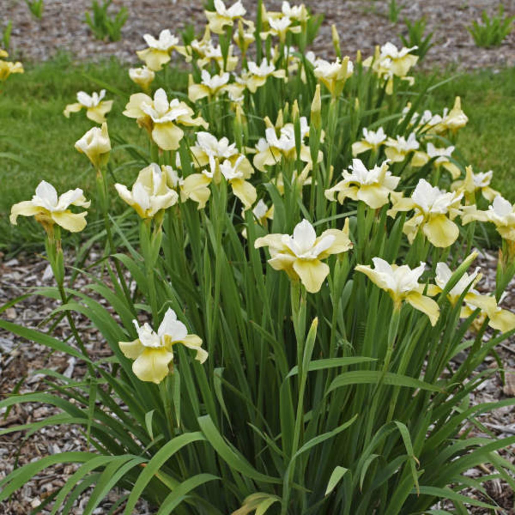 Iris Siberian 'Butter and Sugar' - 1 gal