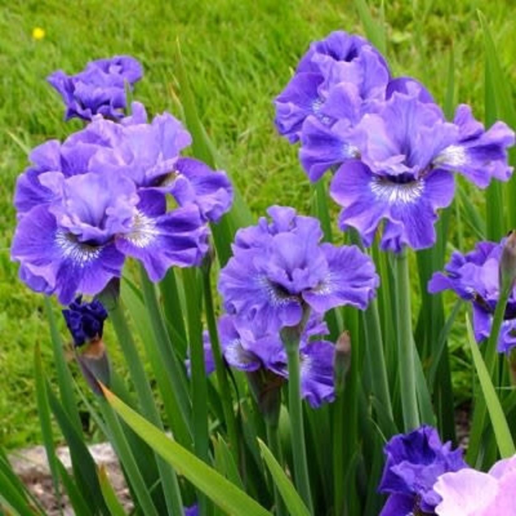 Iris Siberian 'Blueberry Fair' - 1 gal