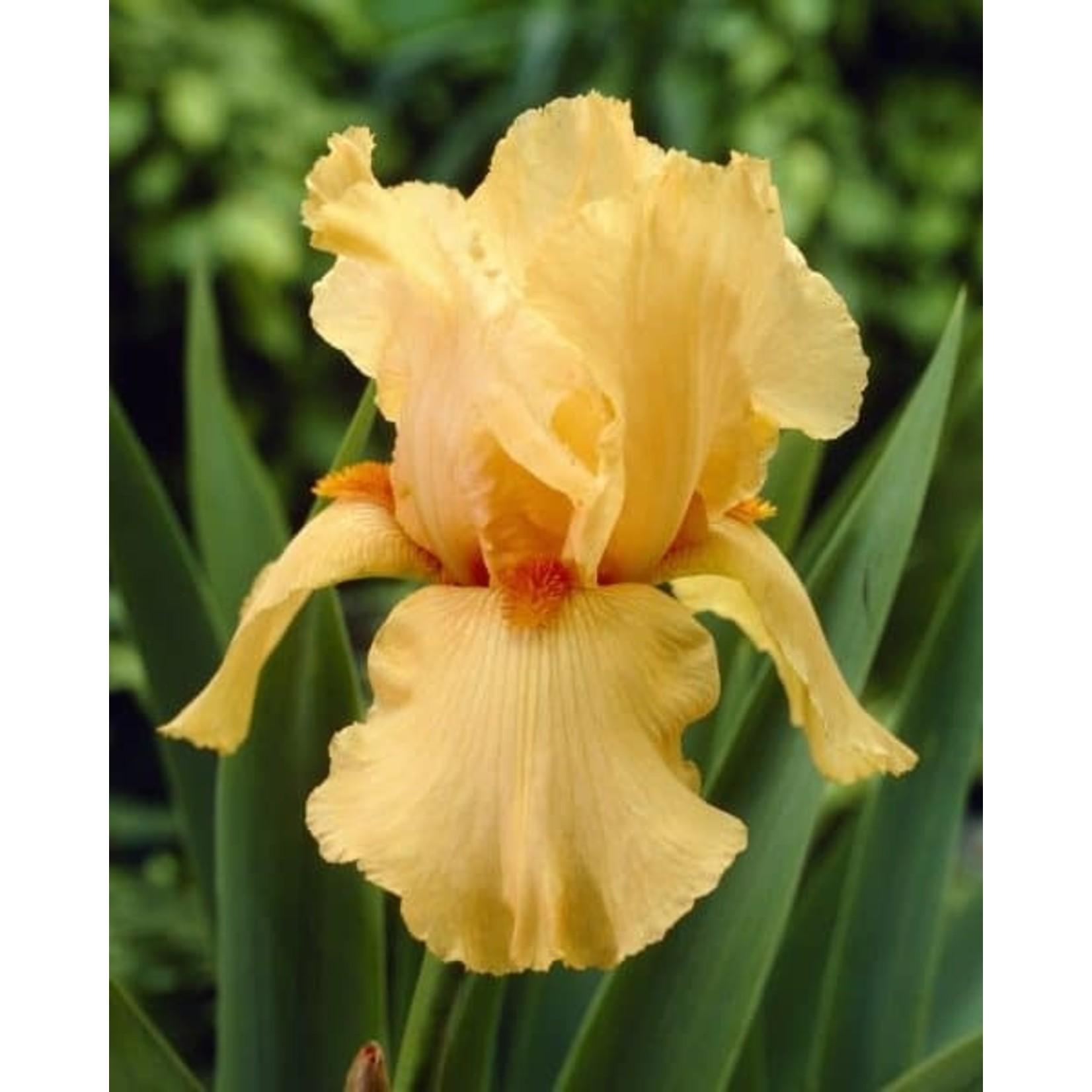 Iris Germanica 'Orange Chariot' - 1 gal