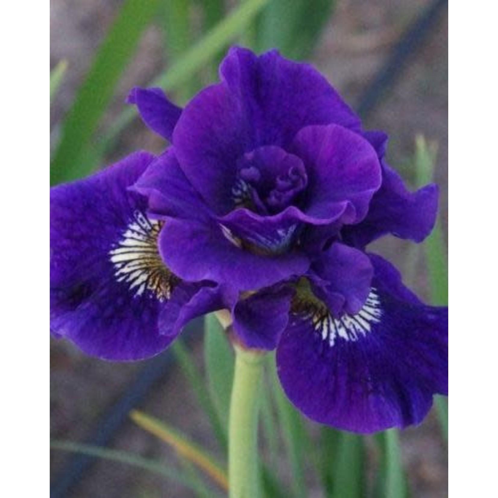 Iris Siberian 'Kaboom' - 1 gal
