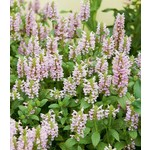 Catmint 'Nepeta Whispurr Pink' - 1 gal