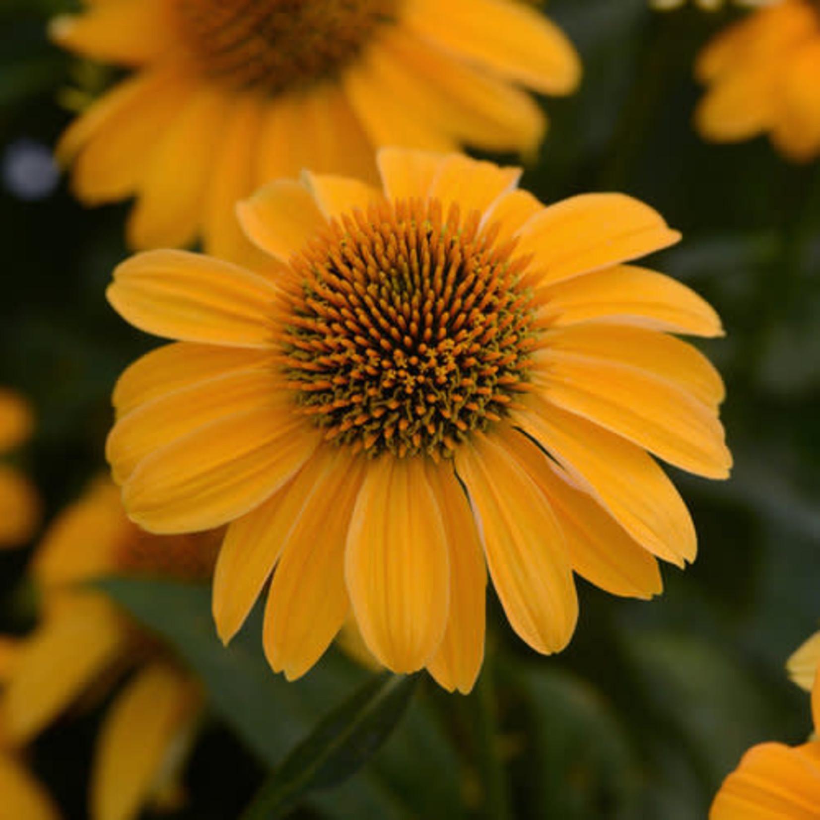 Cone Flower - 'Echinacea Sombrero Granada Gold' - 1 gal
