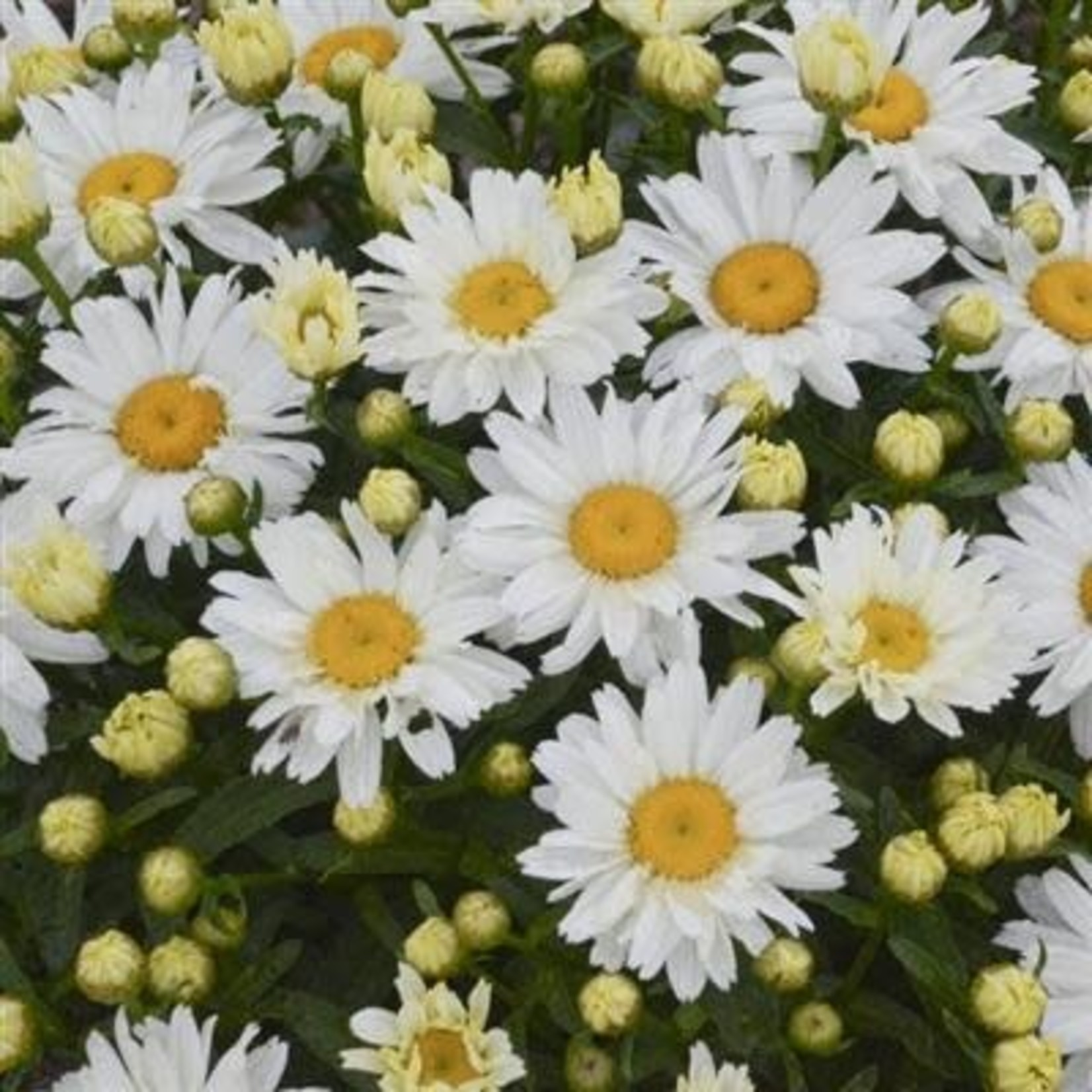 Shasta Daisy 'Leucanthemum Cream Puff' - 1 gal
