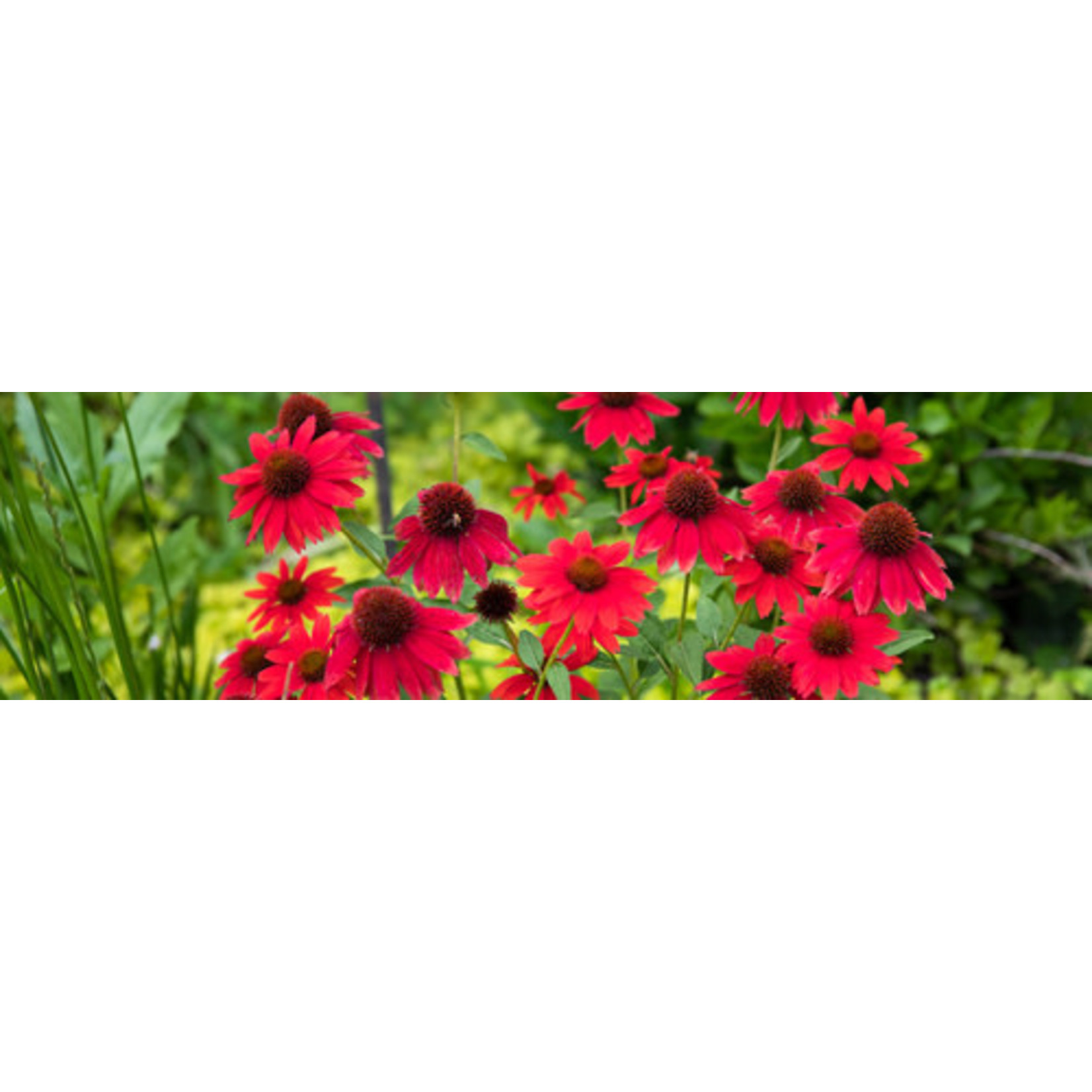 Cone Flower - Echinacea Sombrero Salsa Red - 1 gal