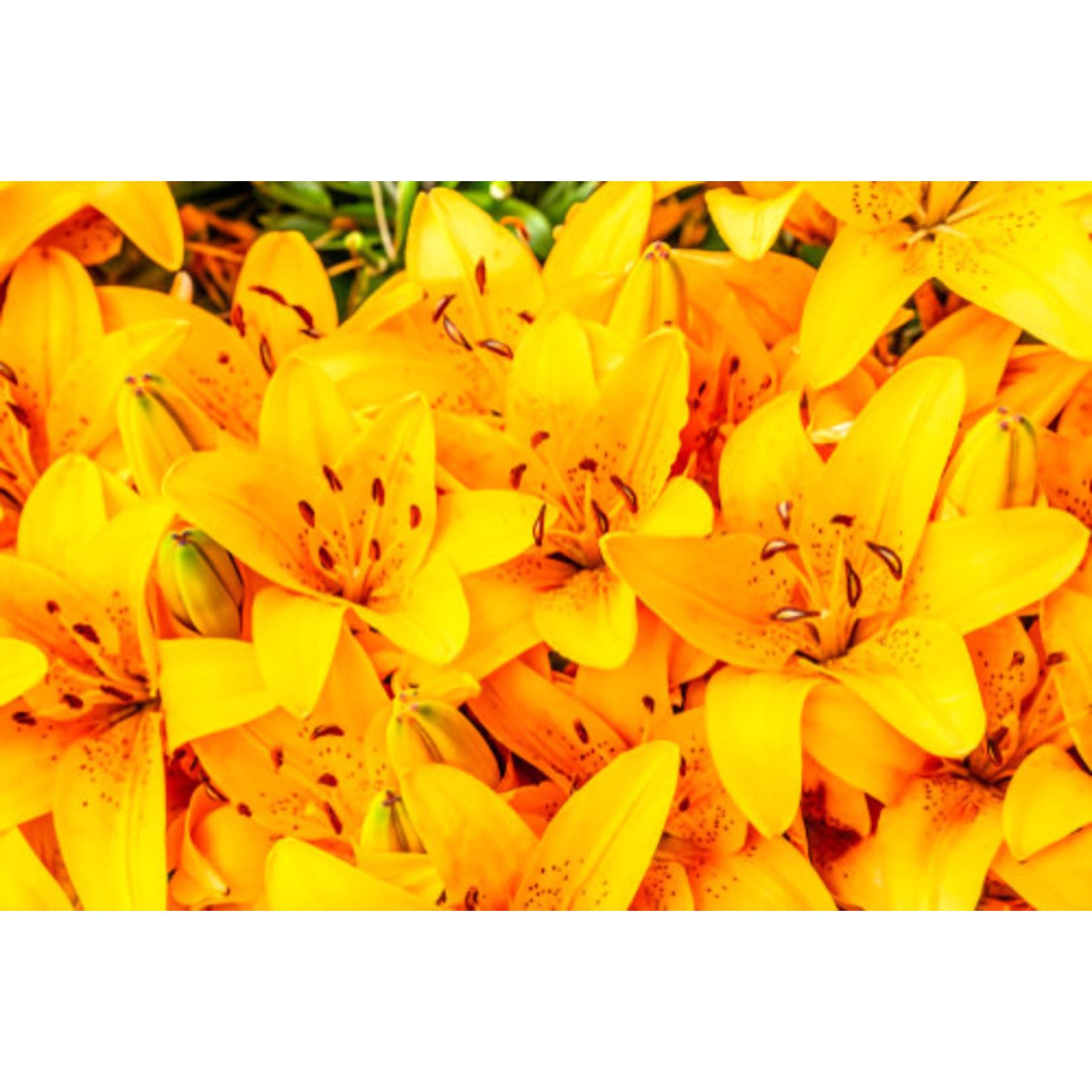 Asiatic Lily 'Golden Matrix' - 1 gal