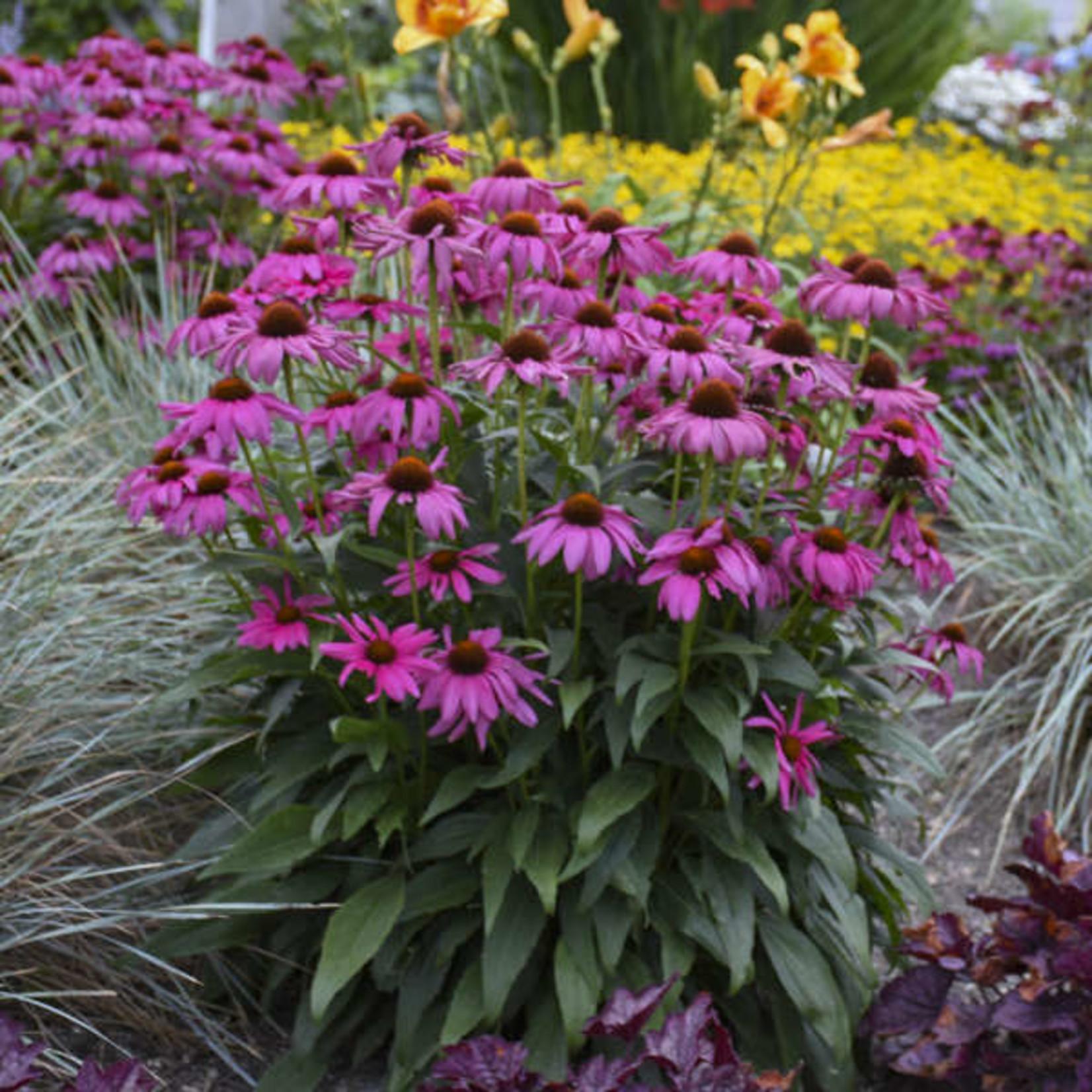 Cone Flower - Echinacea Purple Emperor - 1 gal
