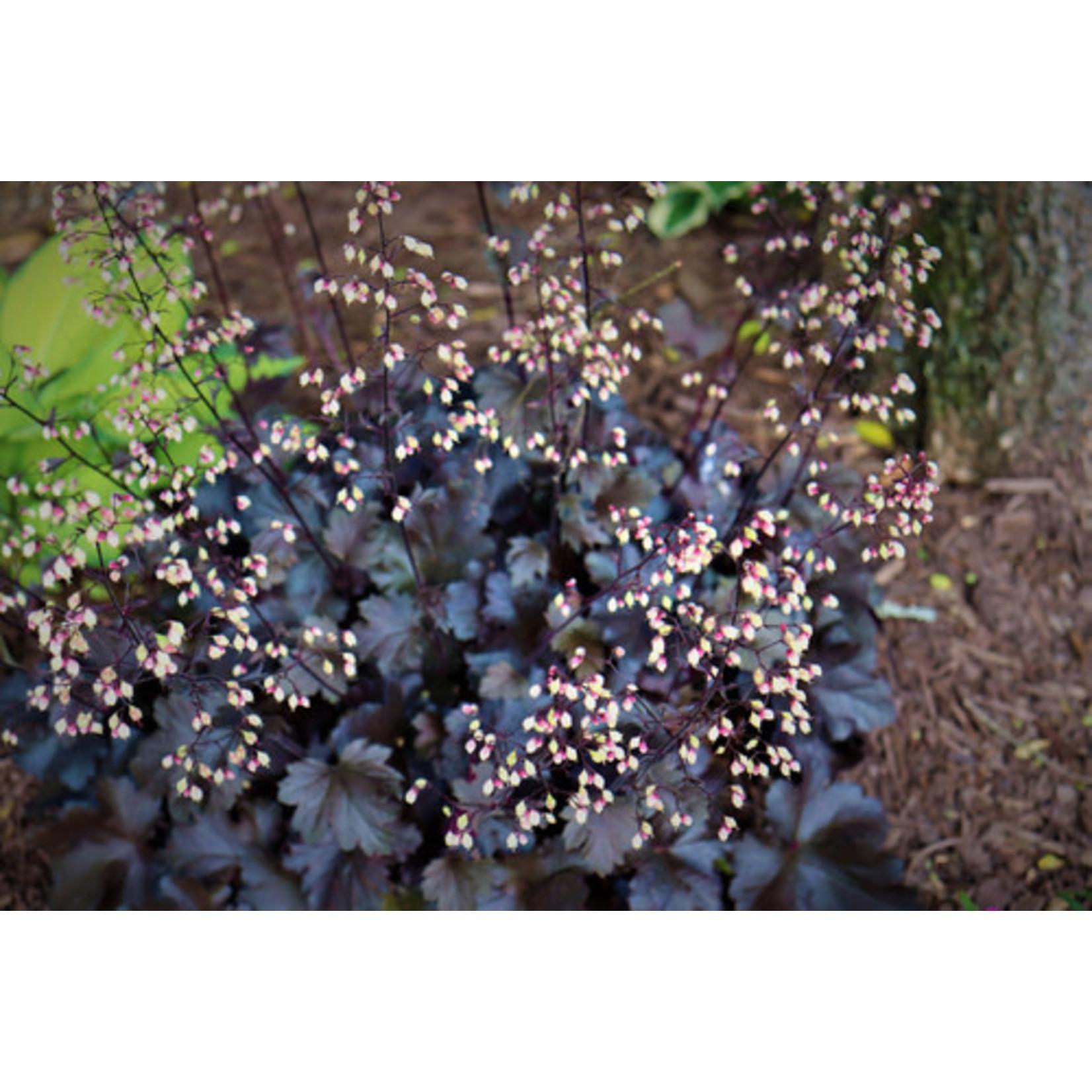 Coral Bells 'Heuchera Plum Pudding' - 1 gal