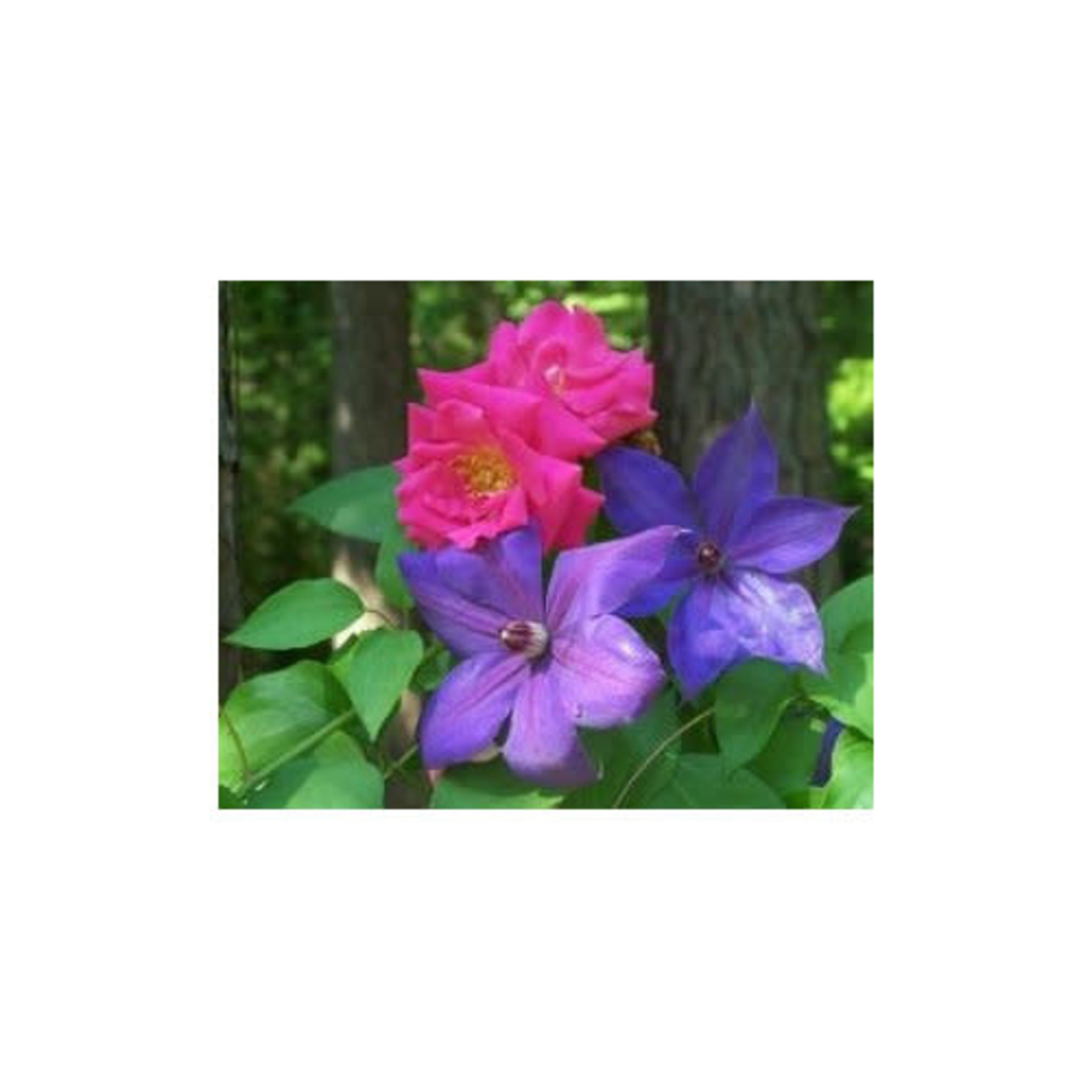 Clematis Combo 'Dr Ruppel & Perrin's Pride' - 2 gal caged