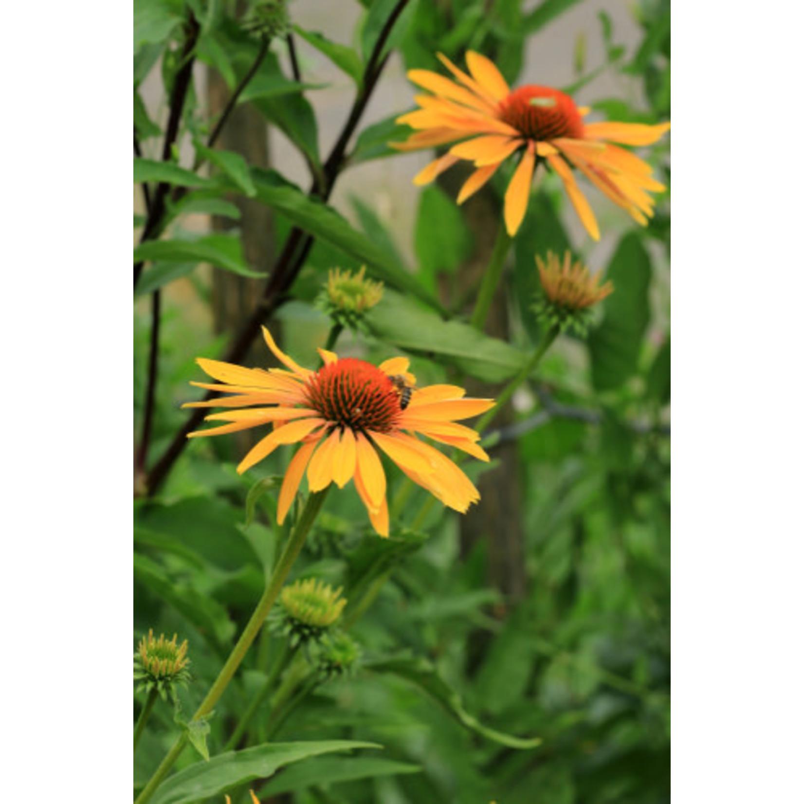 Cone Flower 'Echinacea Orange Skipper' - 1 gal