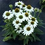 Cone Flower 'Echinacea Kismet White' - 1 gal