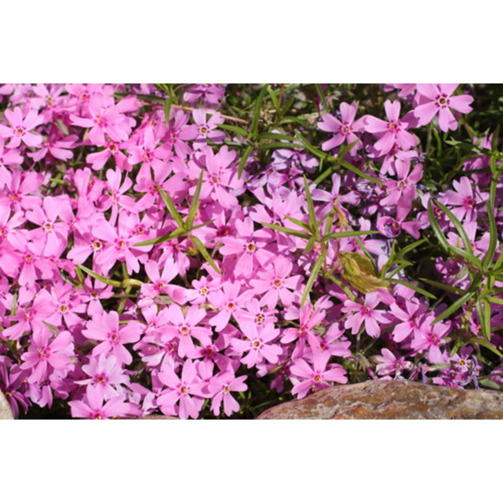 Phlox 'Emerald Pink' 1g
