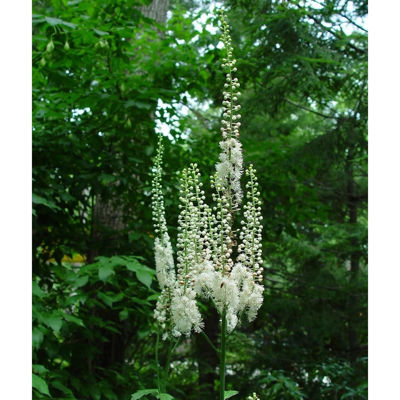 Bugbane - actaea 'Racemosa' - 1 gal