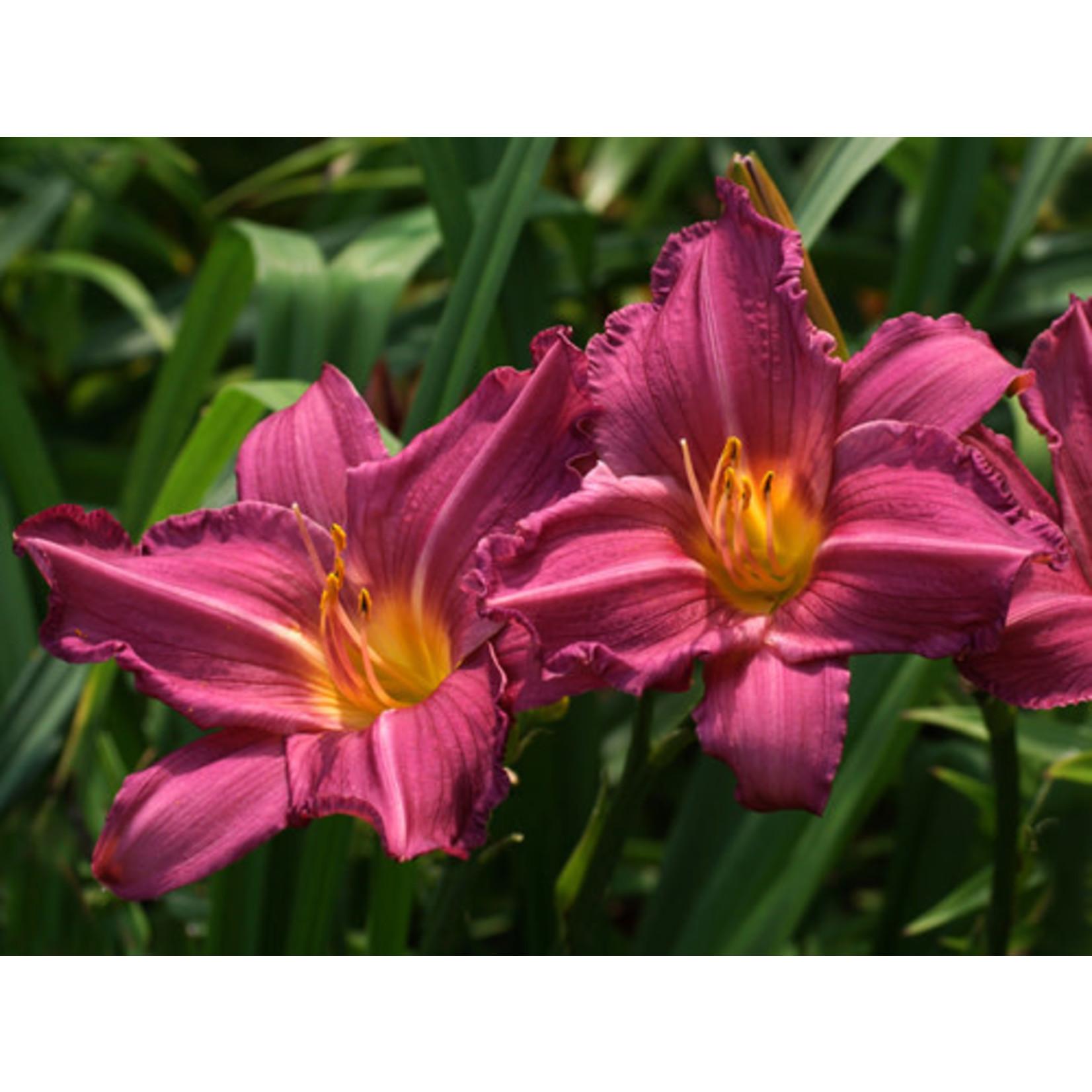 Daylily - Hemerocalis Summer WIne - 1 gal