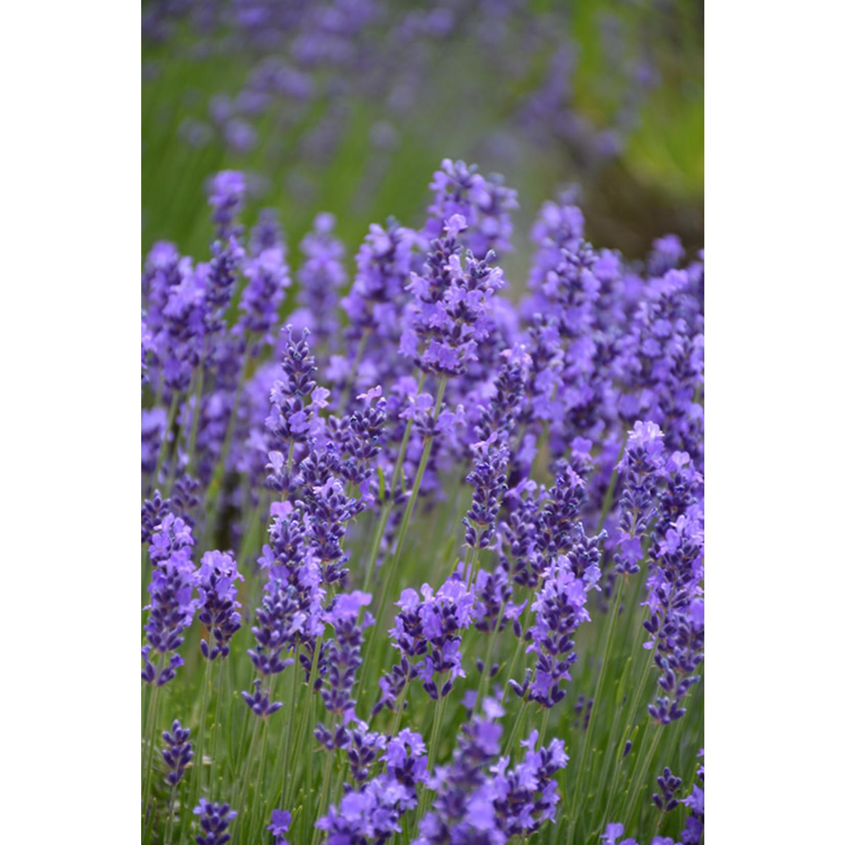 Lavender - Lavandula Hidcote 1 gal
